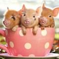 Piglets In Teacup Card